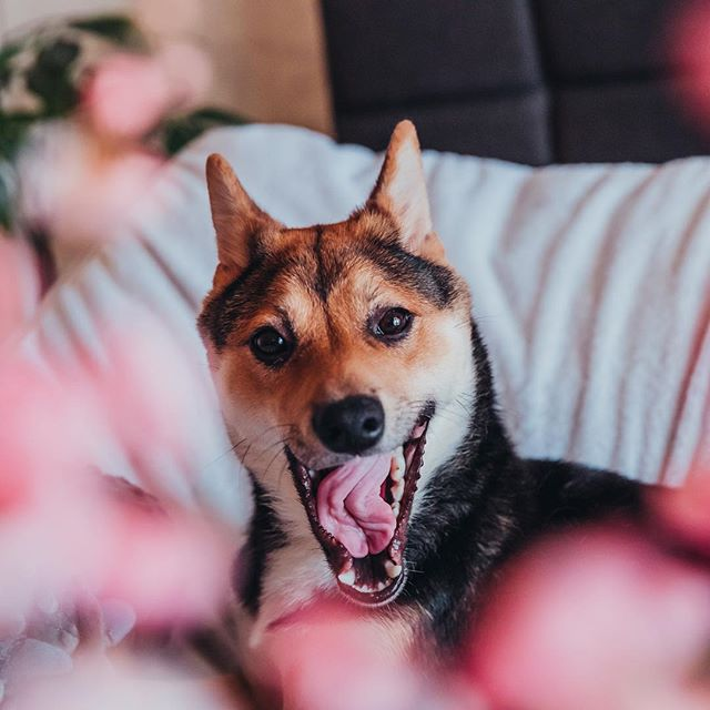 Whem u sniffn da flöör 4 snæcks n floor sniff u bak 👃😰 • • • • #shiba #shibainu #shibastagram #dogsofinstagram #dogstagram #shibadog #shibalove #pupper #puppy #dogs #shibapuppy #shibasofinstagram #japanesedog #dogoftheday #shibalovers #instashiba #shibe #shoob