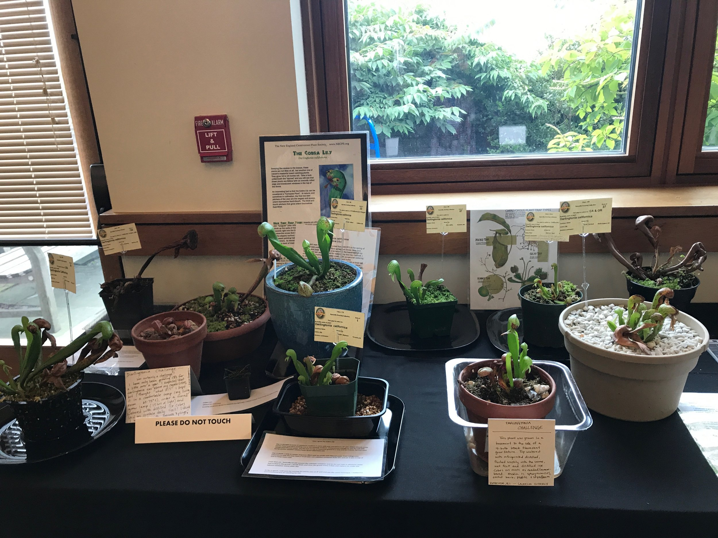 """The  Darlingtonia  Challenge"" display. This year, NECPS promoted a ""Who can grow  D. californica  the best?"" contest. Those who were willing to take the challenge got a free  D. californica  from the society, found his/her own way to grow this notoriously difficult to grow plant in cultivation."