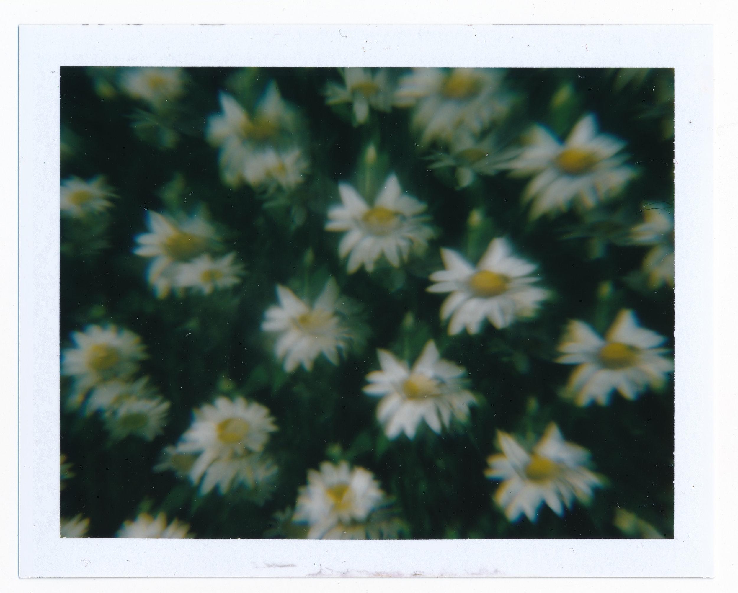 Daisies2.jpeg