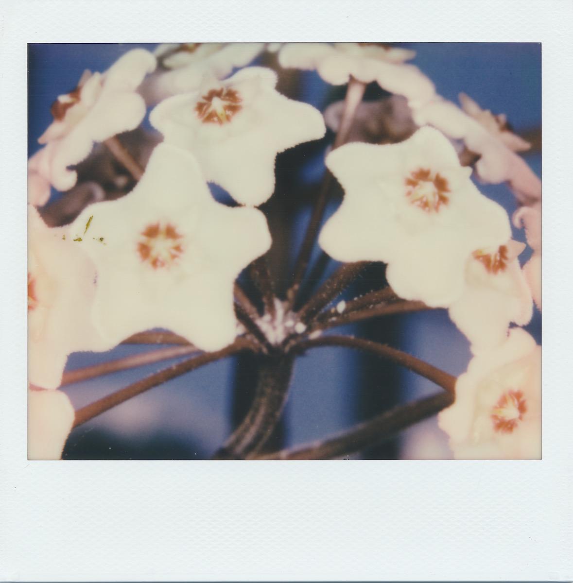 waxplantflower.jpg