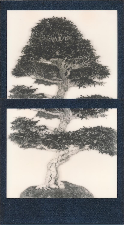 bonsaigraftpolaroid copy.jpg