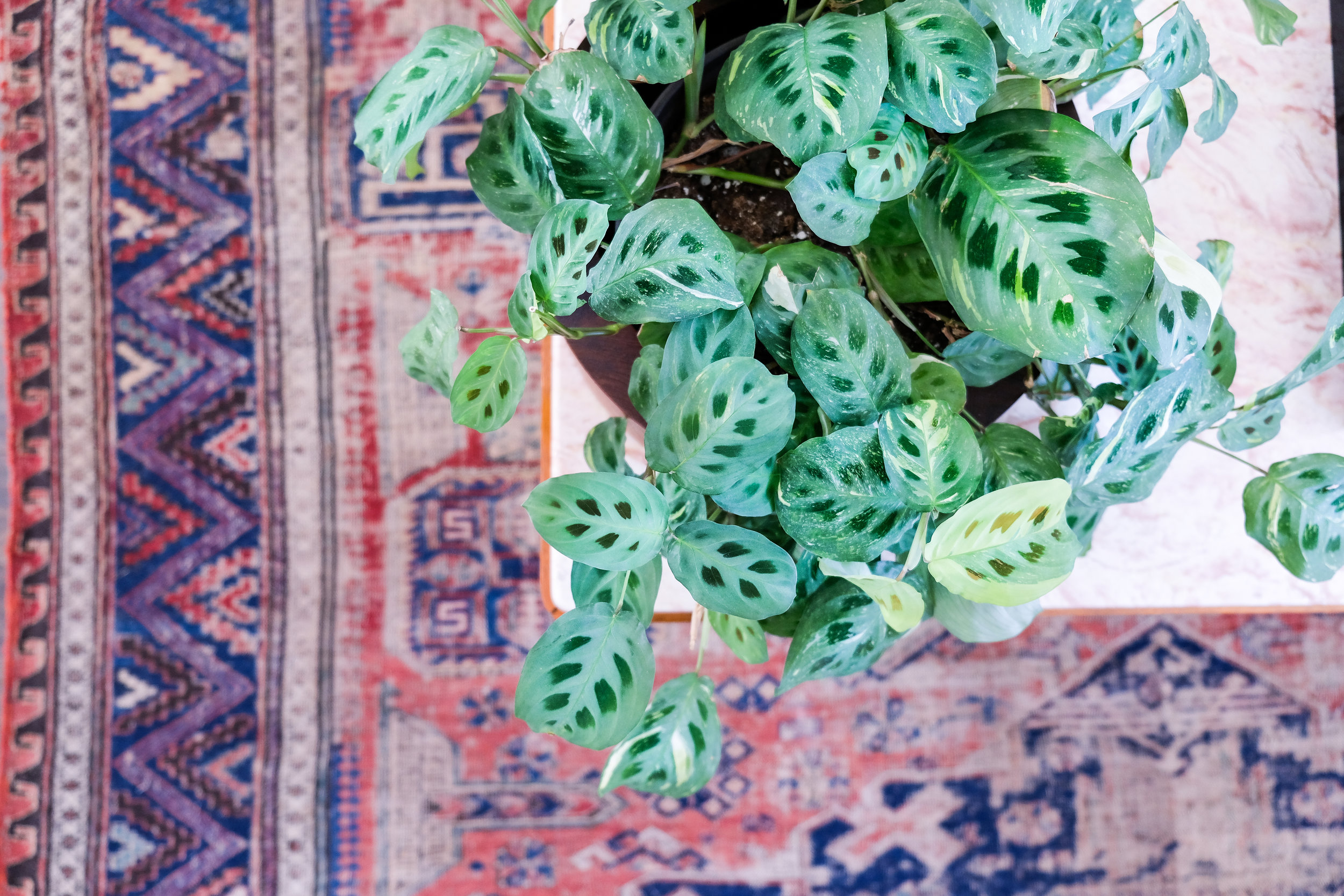 I've had this prayer plant for a few months and just love the pattern!