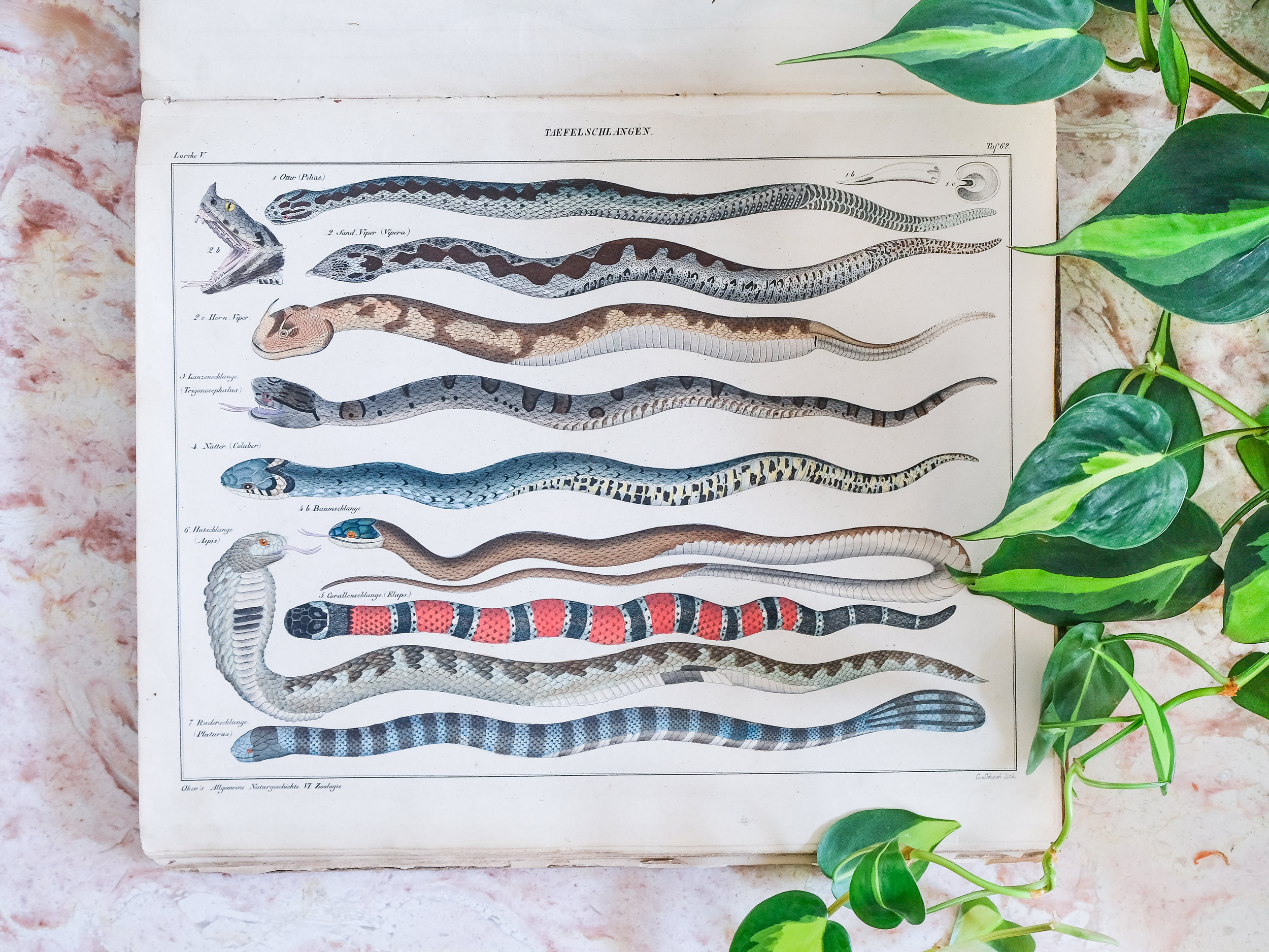 While a lot of people break up old books, I've kept this antique book of wildlife prints in tact. I may break it apart one day so that I can frame some of these beautiful prints, but  for now I like to flip through for inspiration. The pages of snake drawings are amazing.
