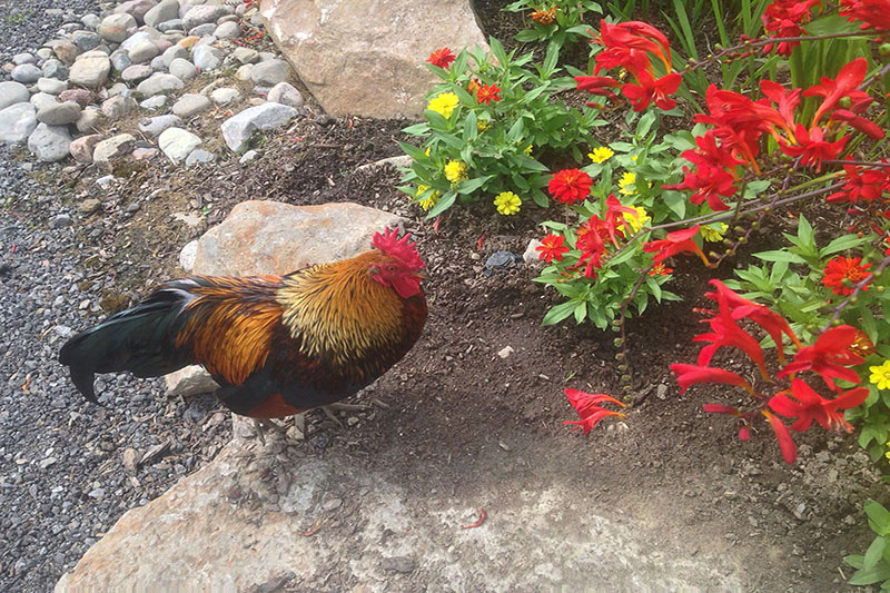 Coq dans les jardins de Route des Gerbes d'Angelica