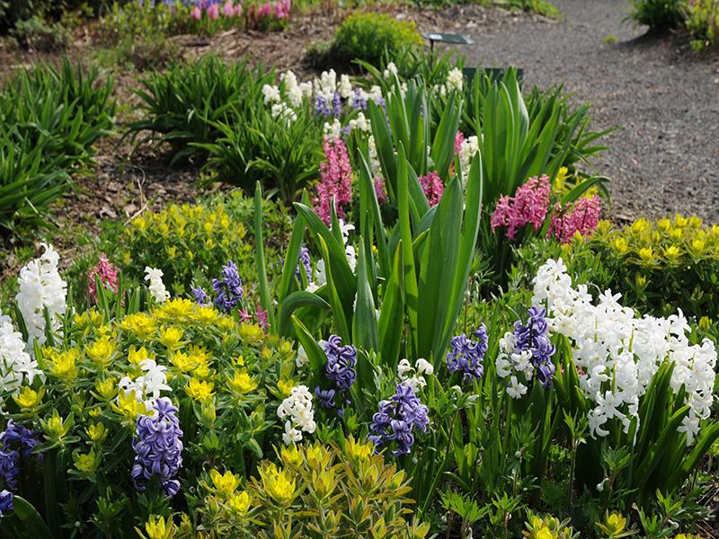 Jacinthes dans le jardin féérique au mois de mai