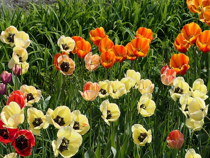 Tulipes dans le jardin d'accueil au mois de mai