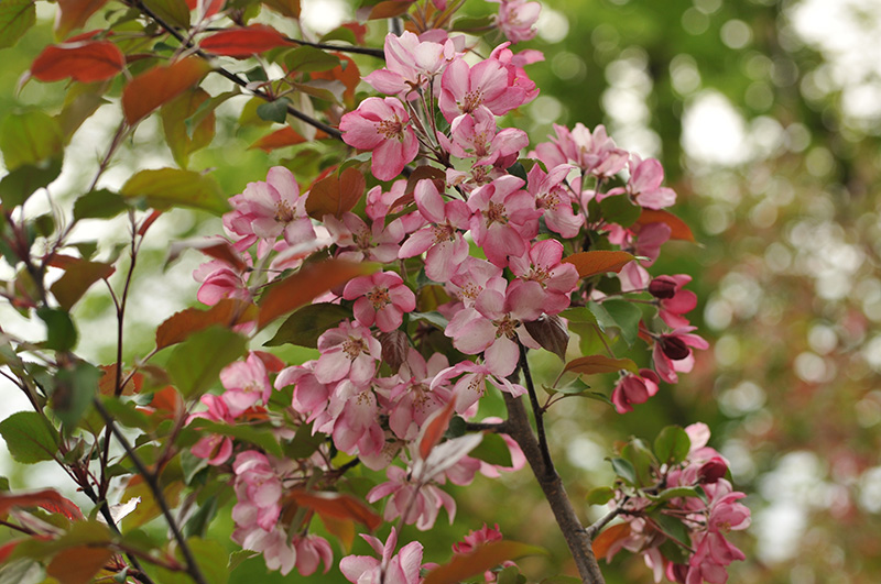 Pommetier en fleurs