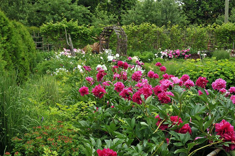Jardin campagnard au temps des pivoines