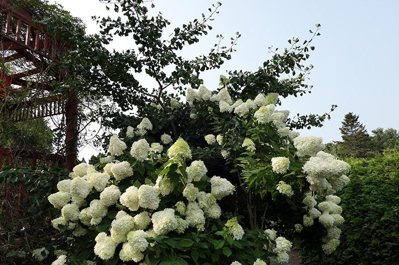 Hydrangée (Hydrangea paniculata 'Limelight'