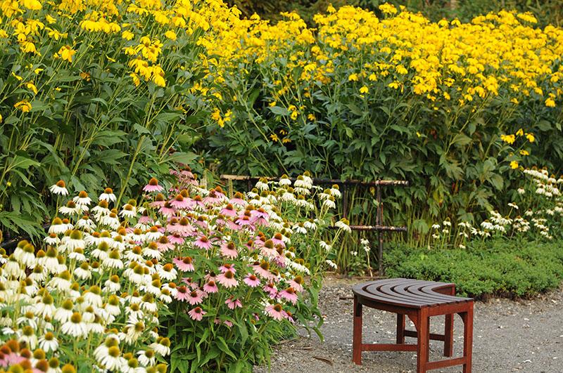 Rudbeckies géantes 'Herbstsonne' en jaune en arrière des échinacées