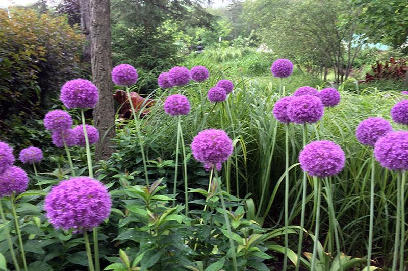 Allium giganteum - Ail décoratif
