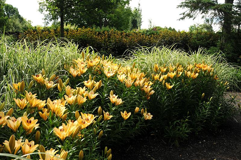 Lilium asiaticum 'Navona' - Lys asiatique
