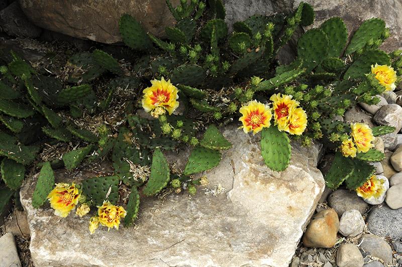 Cactus-raquette ( Opuntia hamifusa)