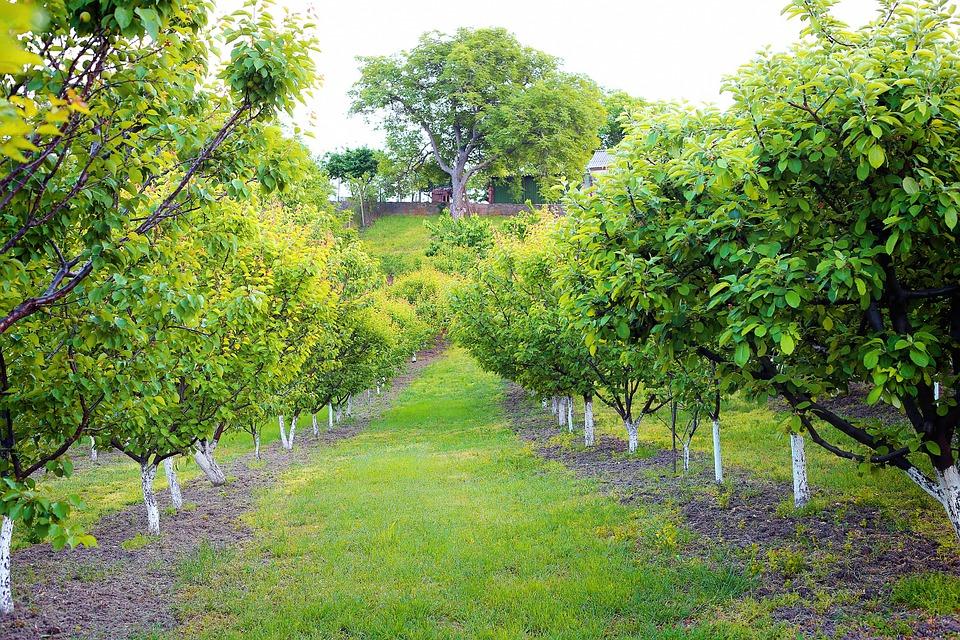 California Walnut Orchard