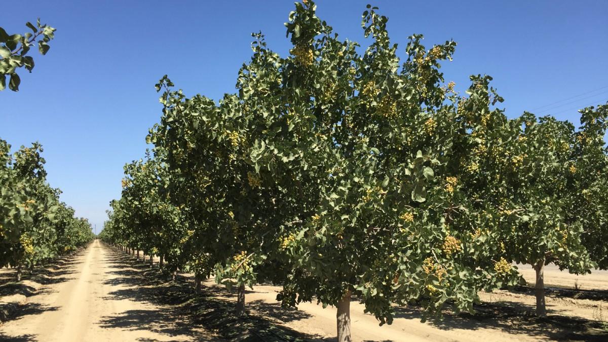 California Walnut Tree
