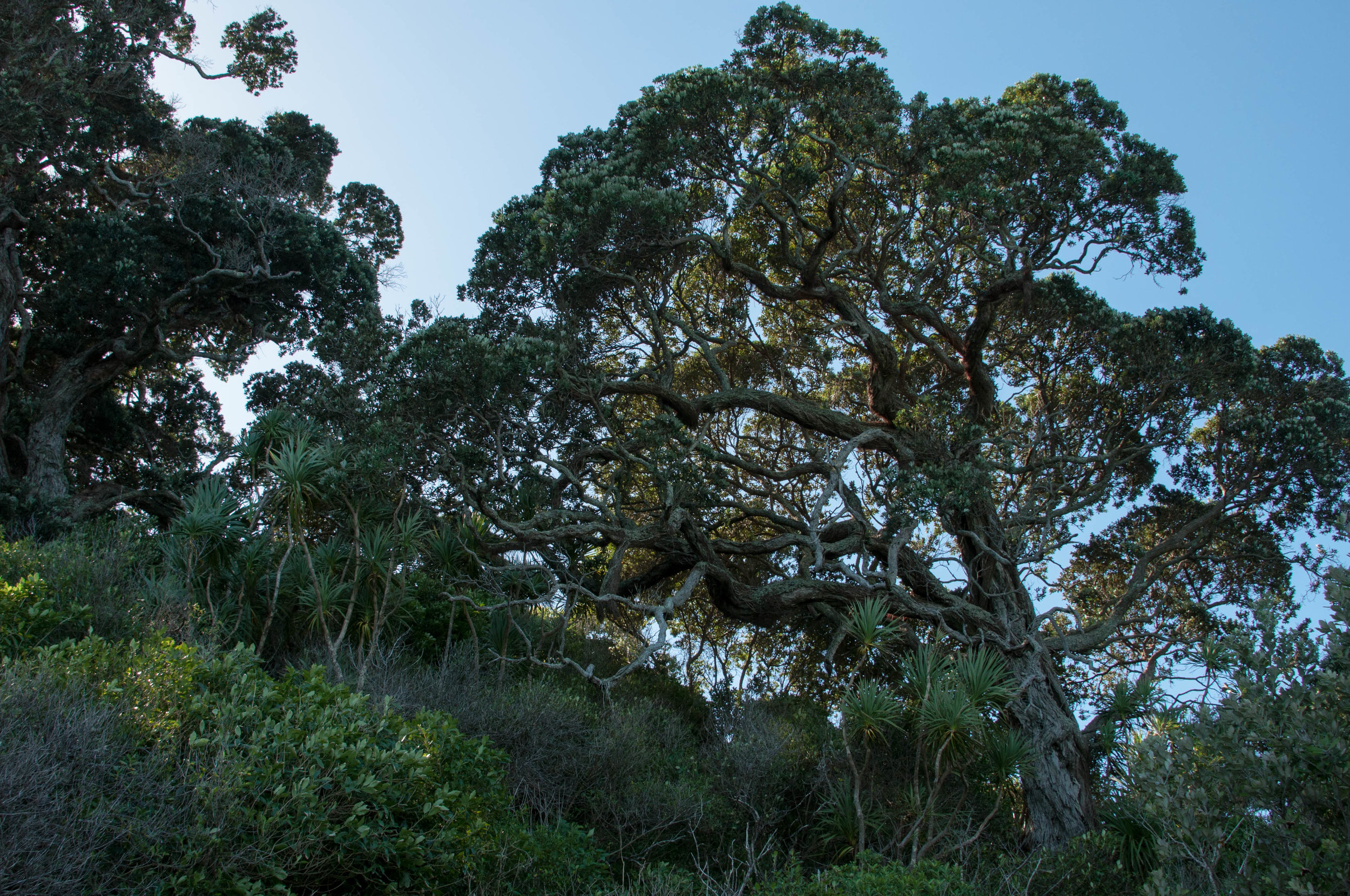 Pohutakawa trees were the first ones to be planted on the island