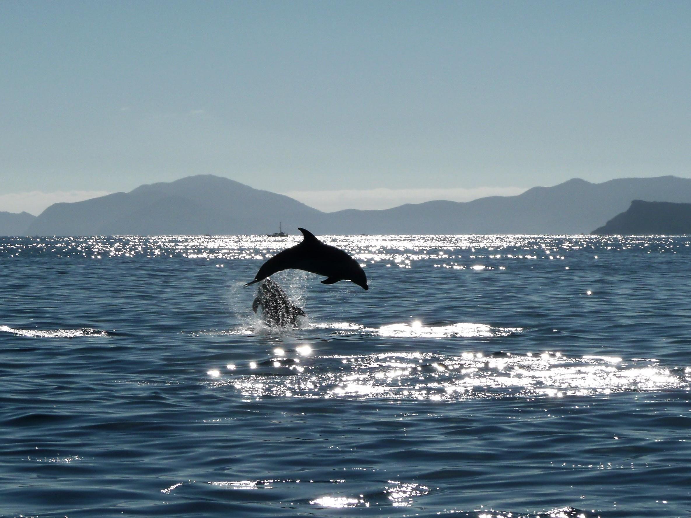 Swim with wild dolhins in Bay of Islands