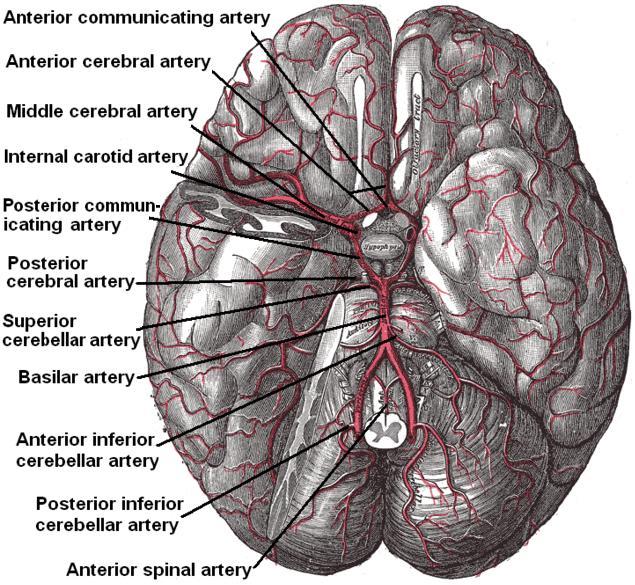 posterior arteries .jpg