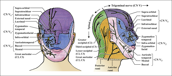 Facial Nerve Anatomy