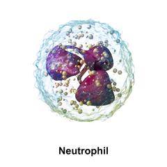 240px-Blausen_0676_Neutrophil.png