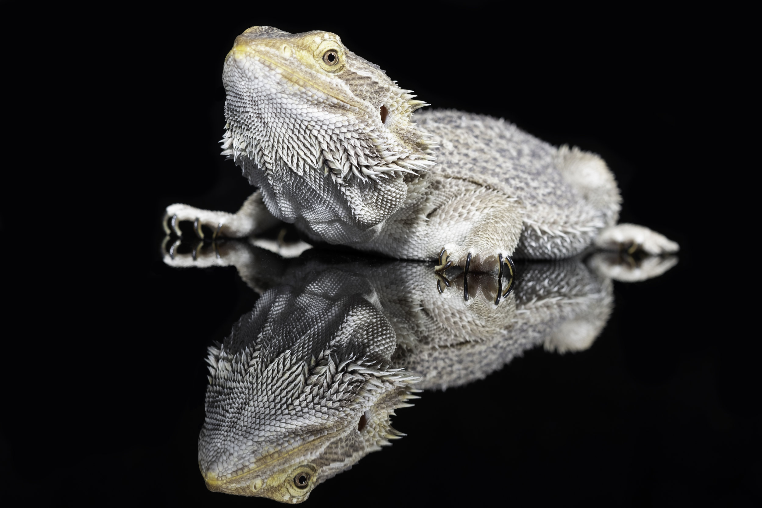 Prickels The Bearded Dragon.jpg