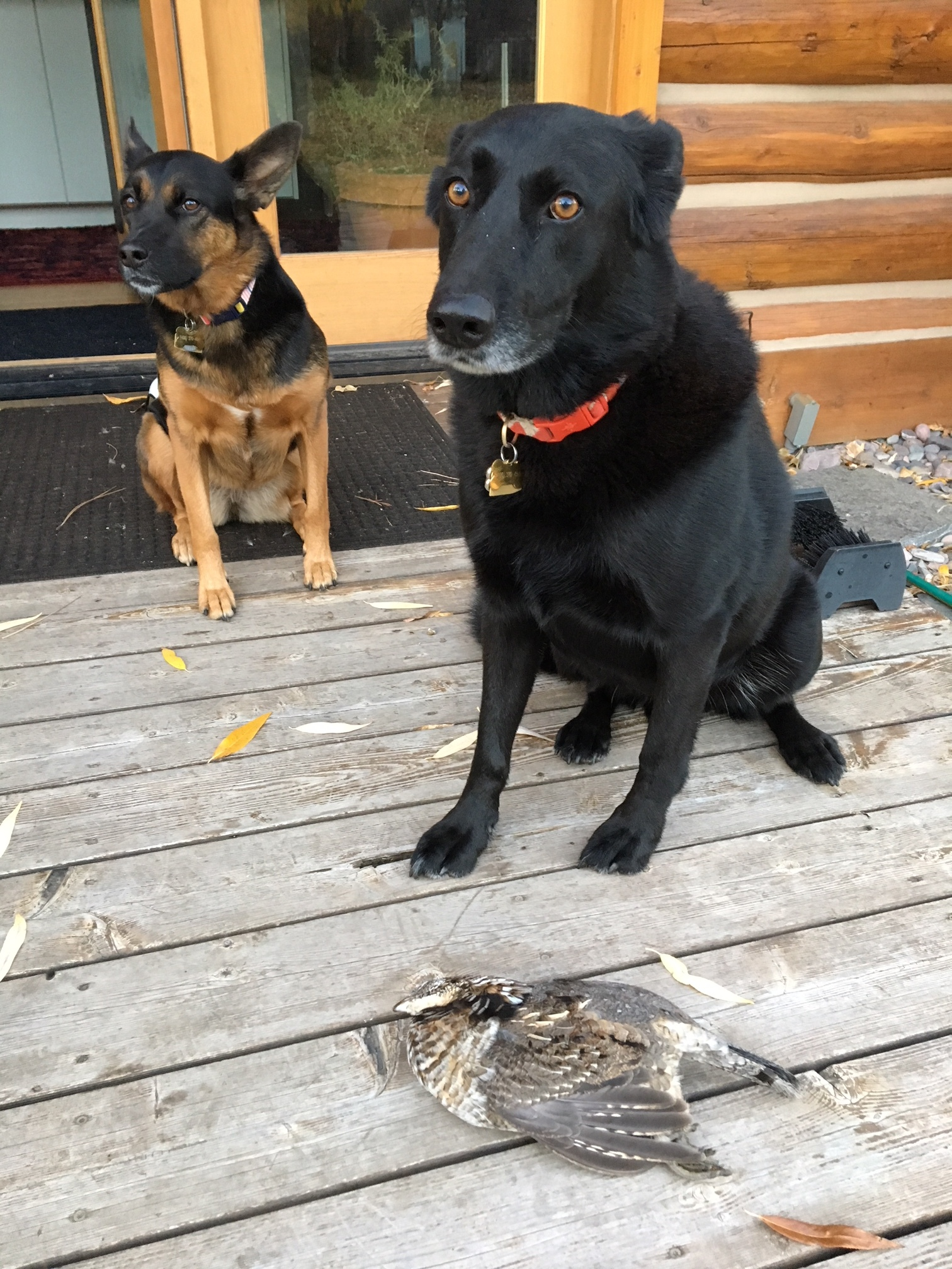 Our dogs Gus and Pika looking hilariously unsure of what they'd done: they saw a grouse feeding in the yard with our chickens last week, and ran out and killed it. We brined it and had our second-dog-killed grouse dinner.Delicious!
