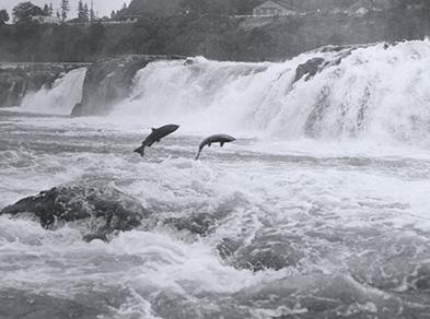 Salmon leap at Willamette Falls, Oregon