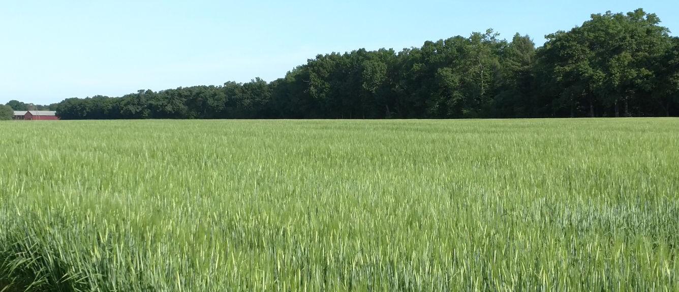Thrall Family Malt barley field in spring.