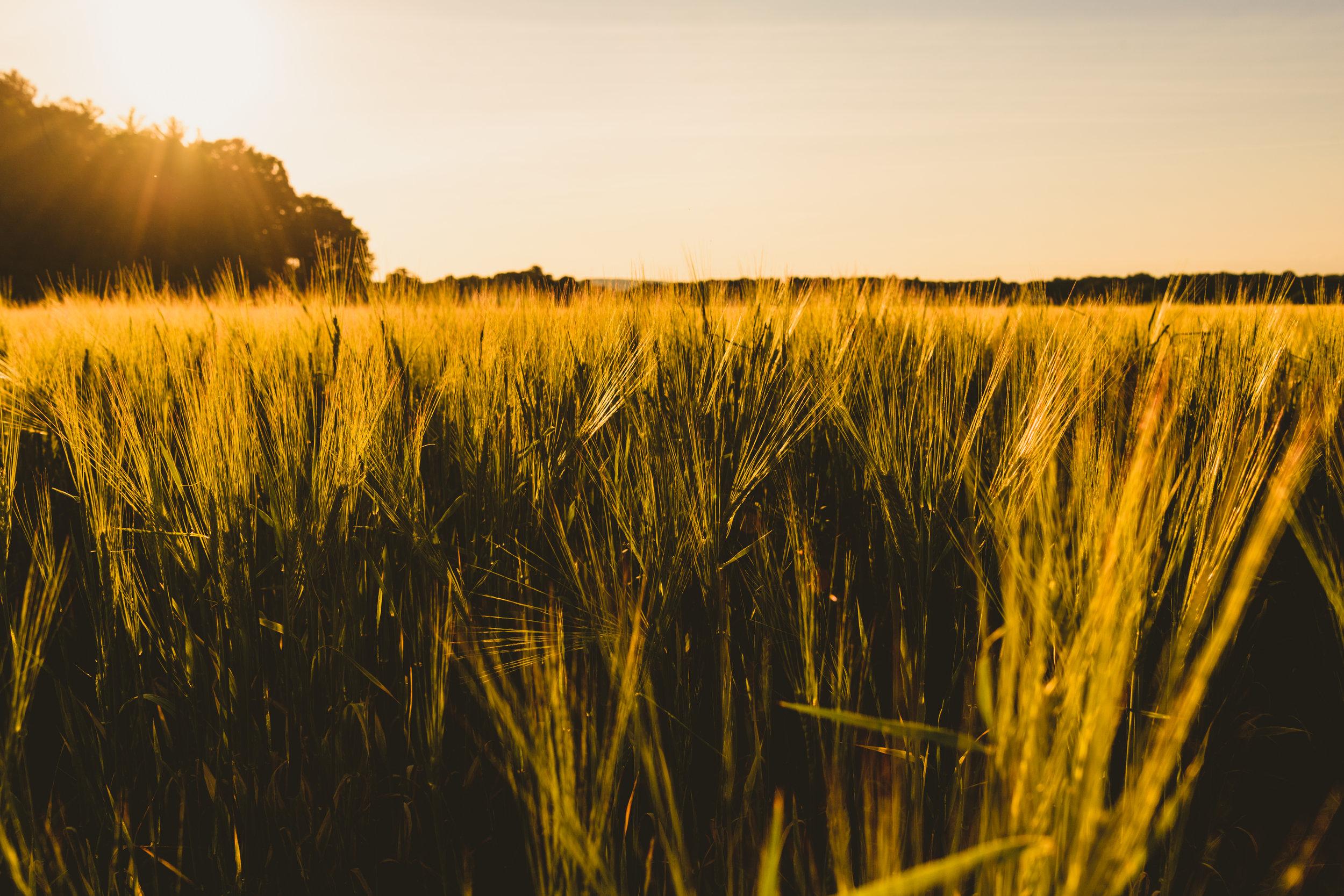 Thrall Family Malt field of barley.
