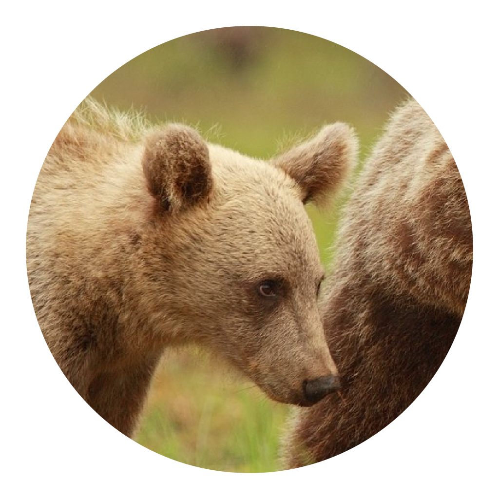 Listen now on NPR:    Mother Bears Are Staying With Their Cubs Longer, Study Finds