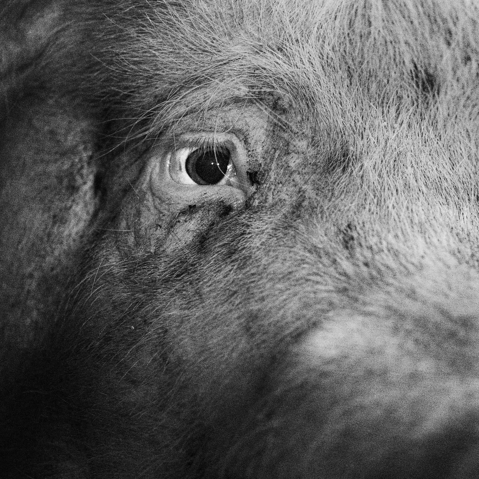 NR. 400 FÖDD: 24 maj 2015 ANTAL KULTINGAR: 11 KULTINGAR I SENASTE KULLEN: 4 Är en snäll sugga. Har skadat ena ögat, antagligen när en annan gris bökat.
