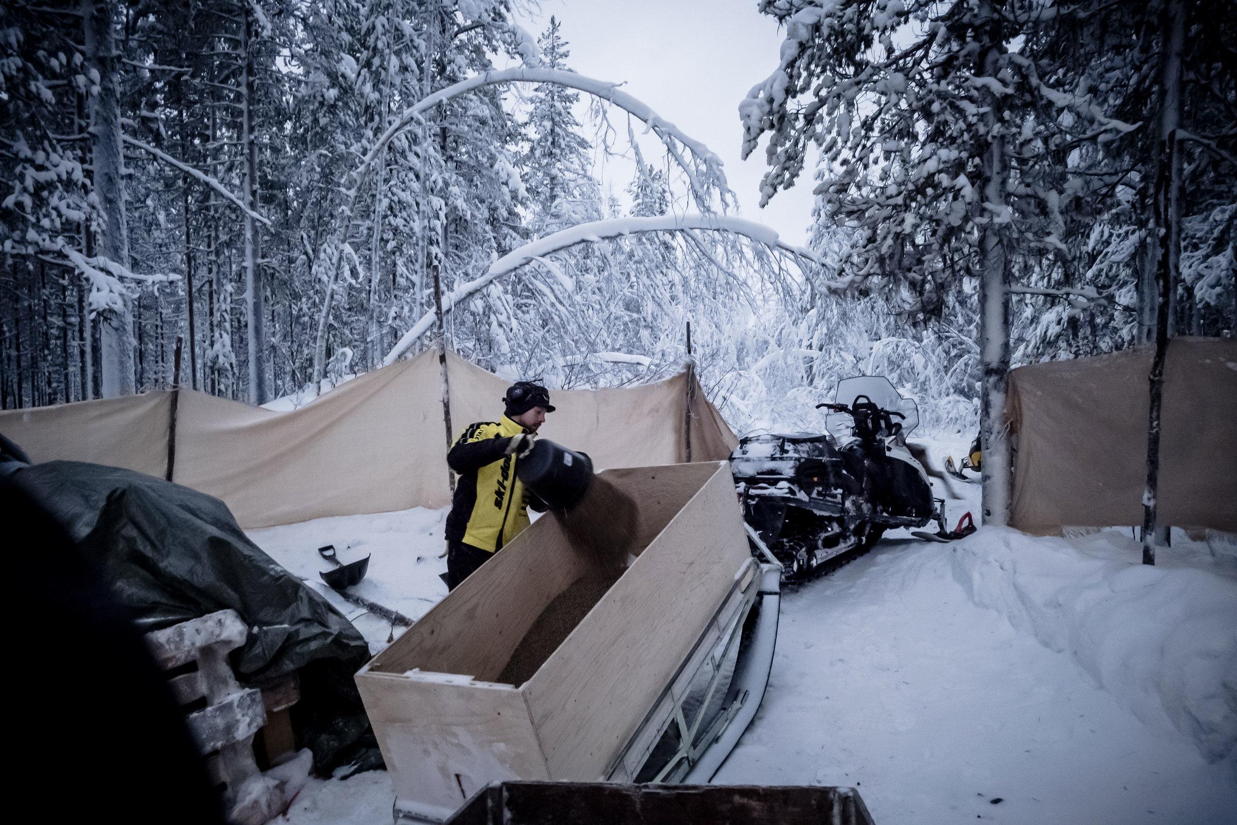 Januari 2018  Vi har stora områden att välja på när vi placerar ut renarna för vintern. Men de allt snabbare klimatförändringarna gör vintrarna svårare att förutspå. Det är som att kasta tärning – mycket är osäkert. I år valde vi att släppa renarna i Murjek-området, men ett par veckor in i vintern visade det sig vara ett felval. Marklaven närmast backen, den som är mest lättsmält för renarna, är full av is – ett mer och mer vanligt fenomen då de varma höstvintrarna kommit. Vi har åtta årstider på året. Nu för tiden blir det ofta inslag av plusgrader under höstvintern vilket gör att snön som kommit packar ihop och blir till is. Det innebär att renen inte vill beta. Istället går den iväg över stora ytor. Ett sätt att få dem att stanna kvar på vinterbeteslandet är tillskottsutfodring. Min kusin, Ol-Duommá, öser de dyra pelletarna för att sedan köra ut till utfodringsplatser i skogen. Ett dyrt och tungt extraarbete.