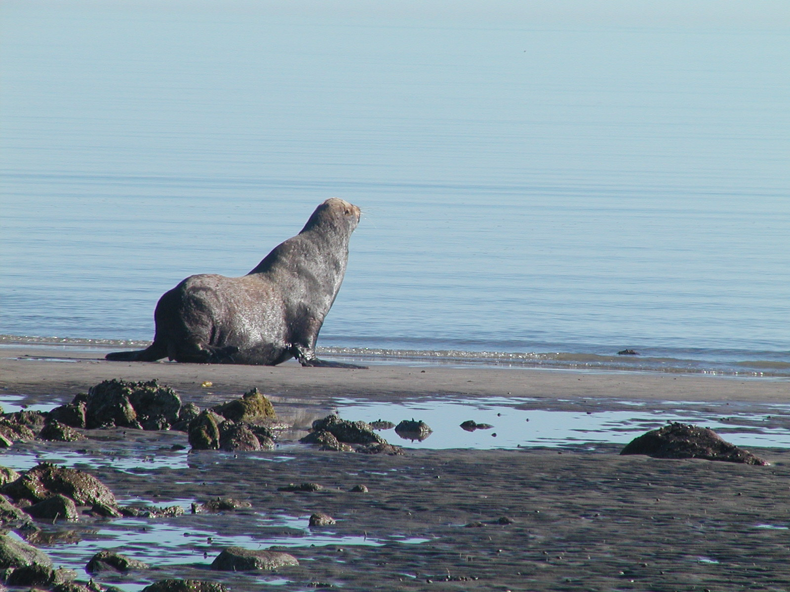 Resident Sea Lion