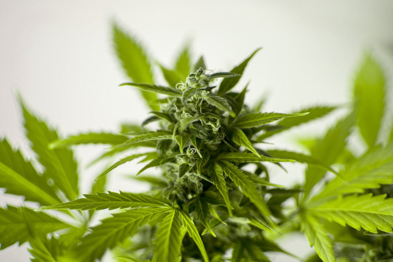 cannabis-flower.jpg