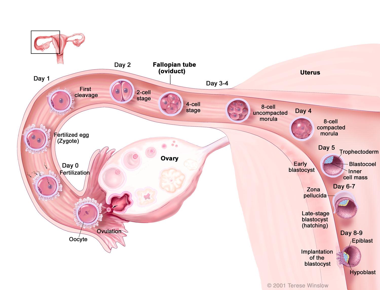 Development of the Human Preimplantation Blastocyst
