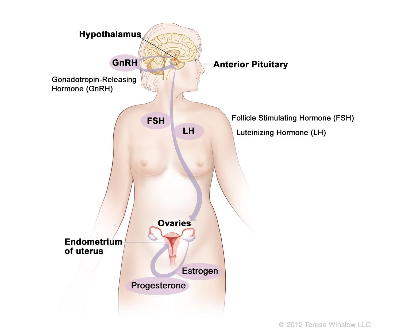hormones-female.jpg