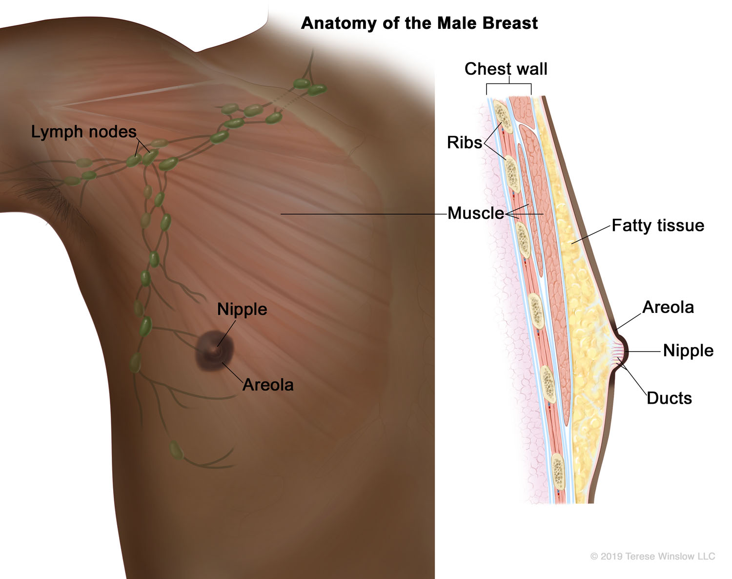 Anatomy of the Male Breast (Brown Skin)