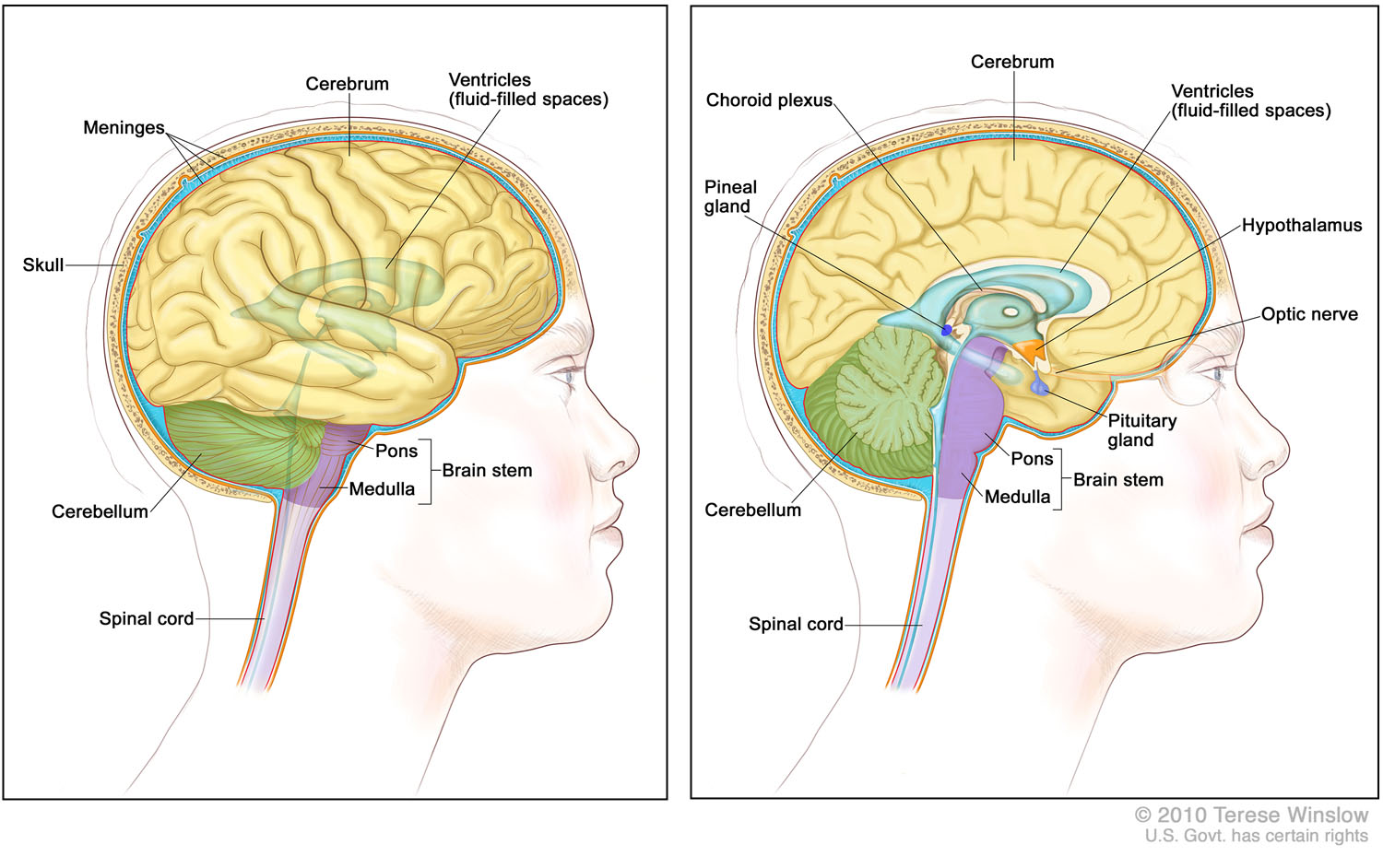 brain-lateral-medial-adult.jpg