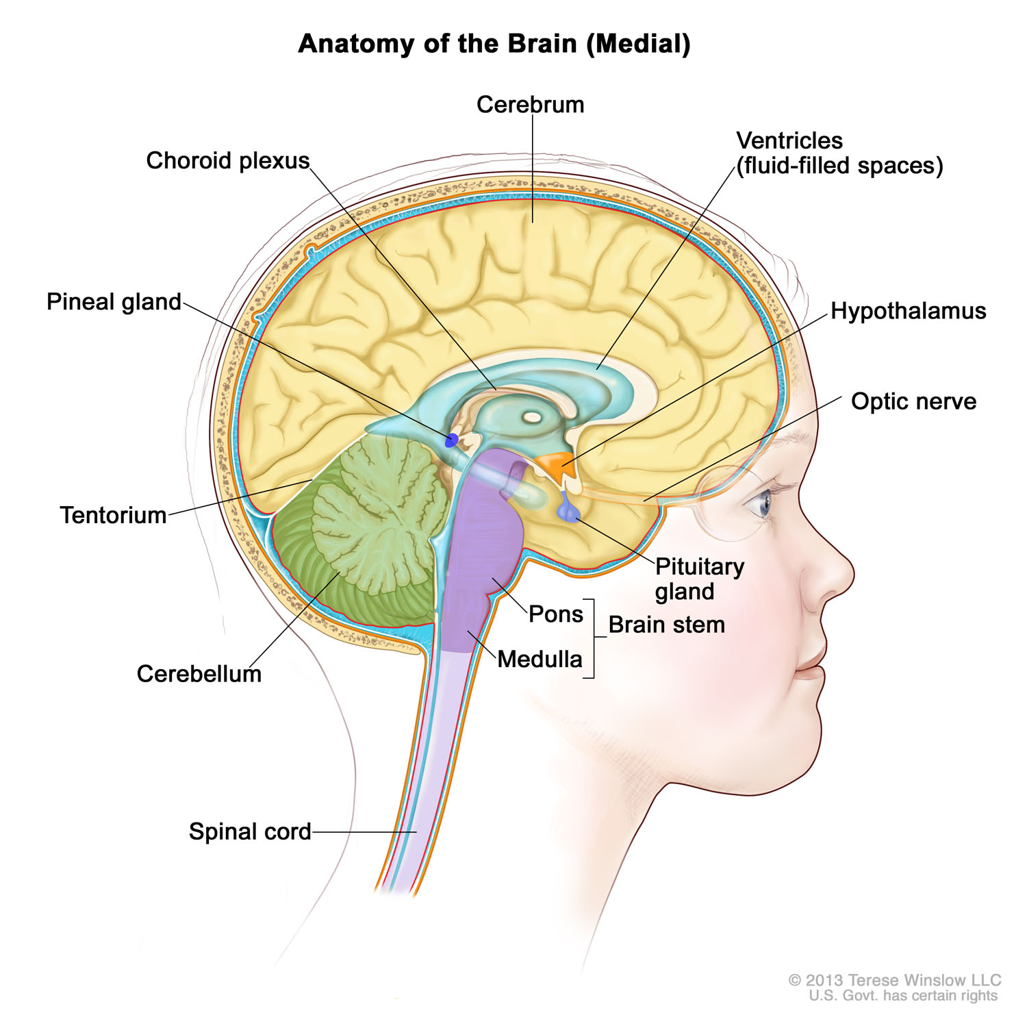 brain-medial-child-2.jpg