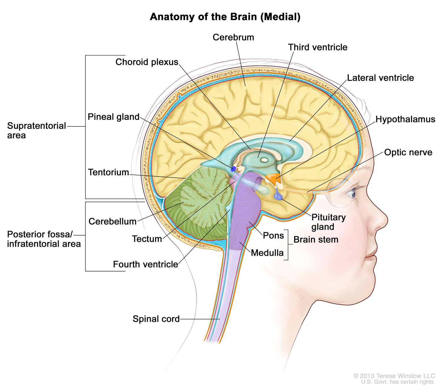 brain-medial-child-ventricles.jpg