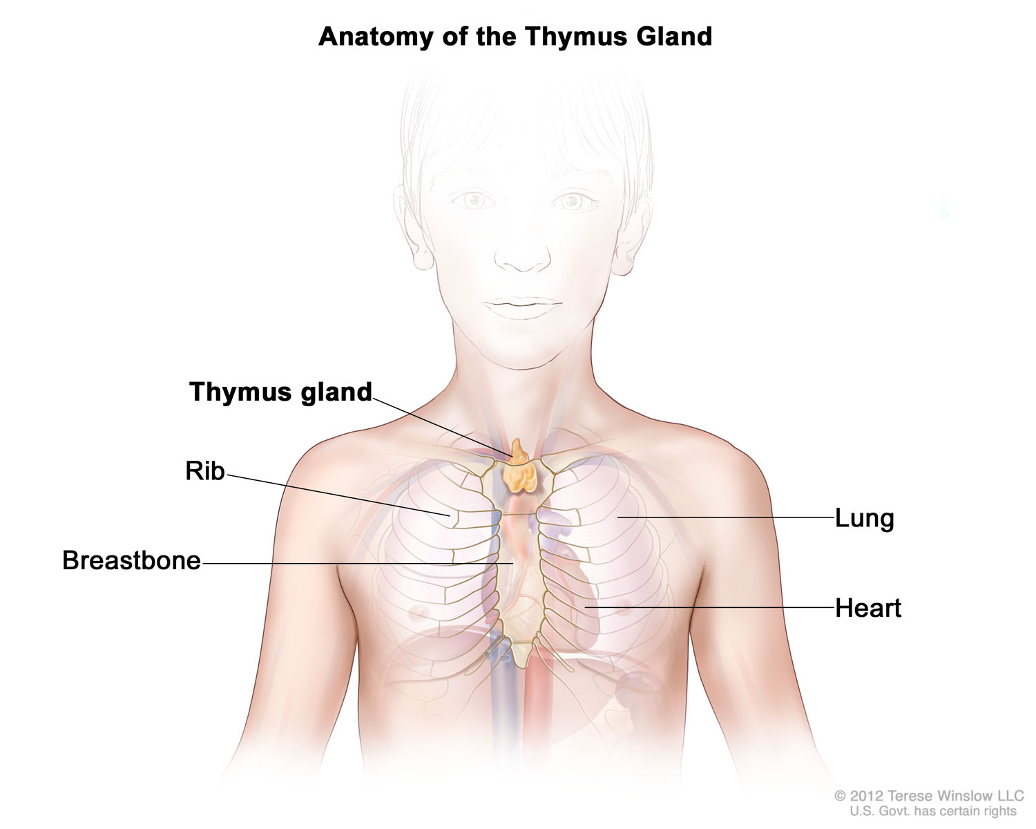 thymus-anatomy-child.jpg