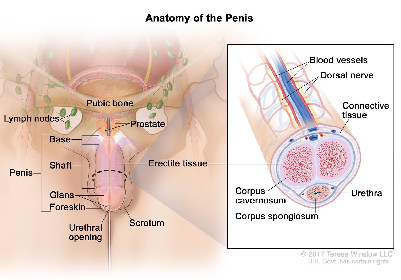 penis-anatomy-detail.jpg
