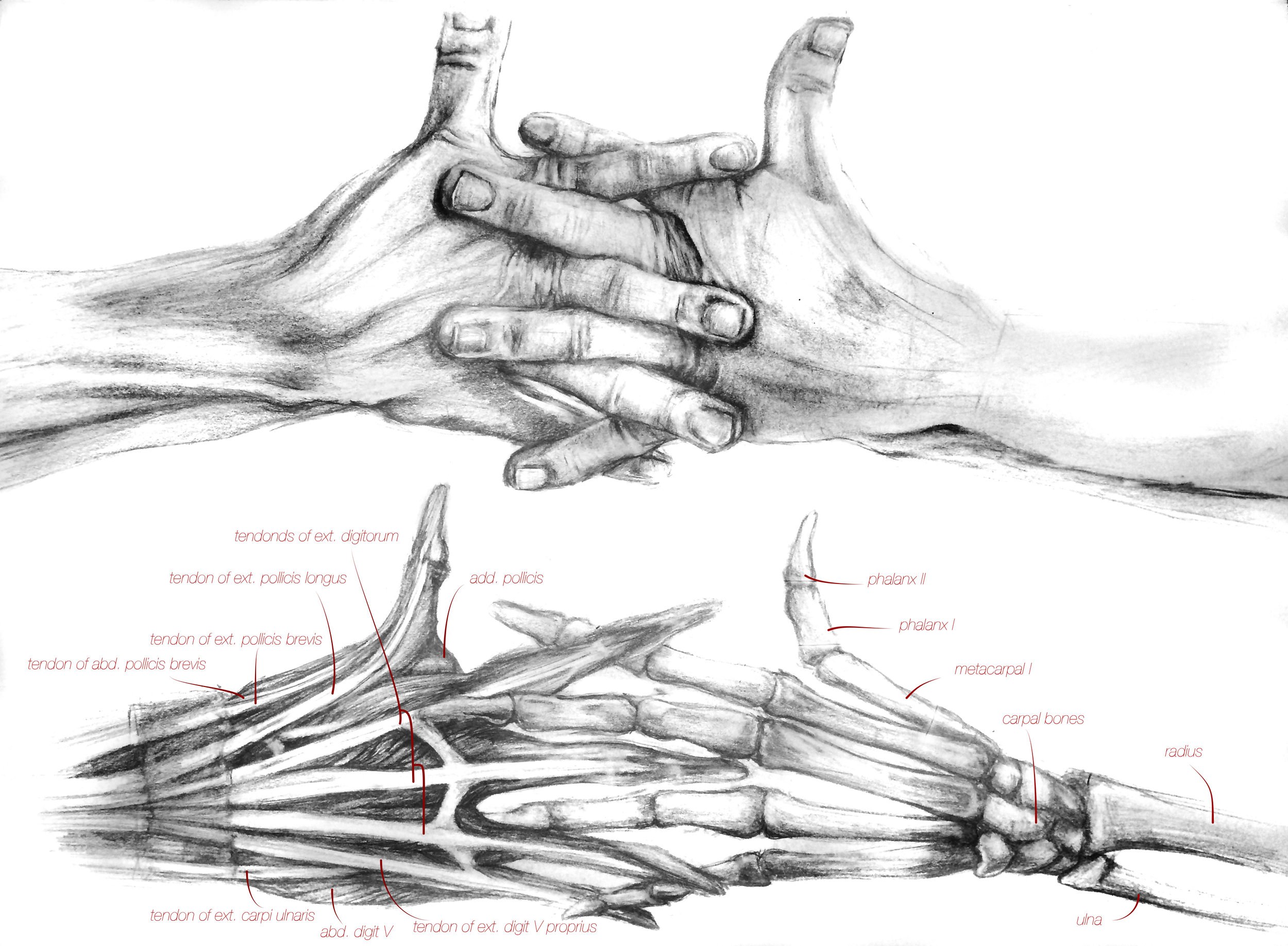 Anatomical Studies -