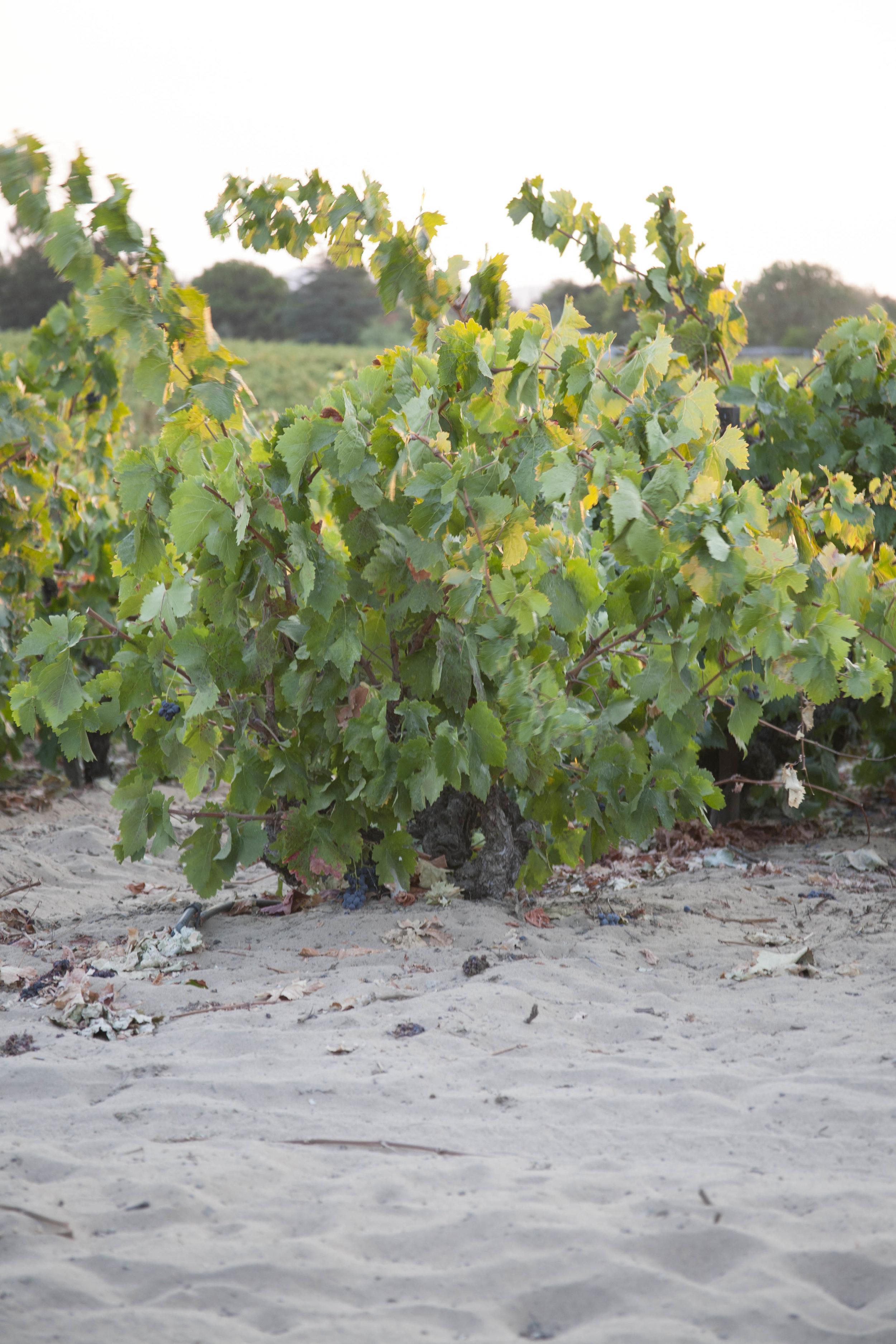 Del Barba Old Vines