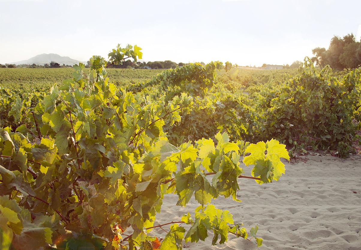 Del Barba vineyard