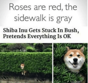 thumb_roses-are-red-the-sidewalk-is-gray-shiba-inu-gets-59942826.png