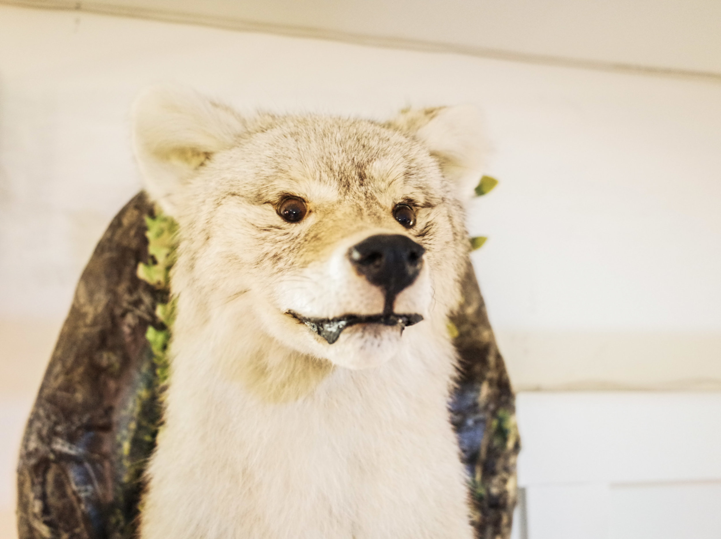 coyote-taxidermy.jpg