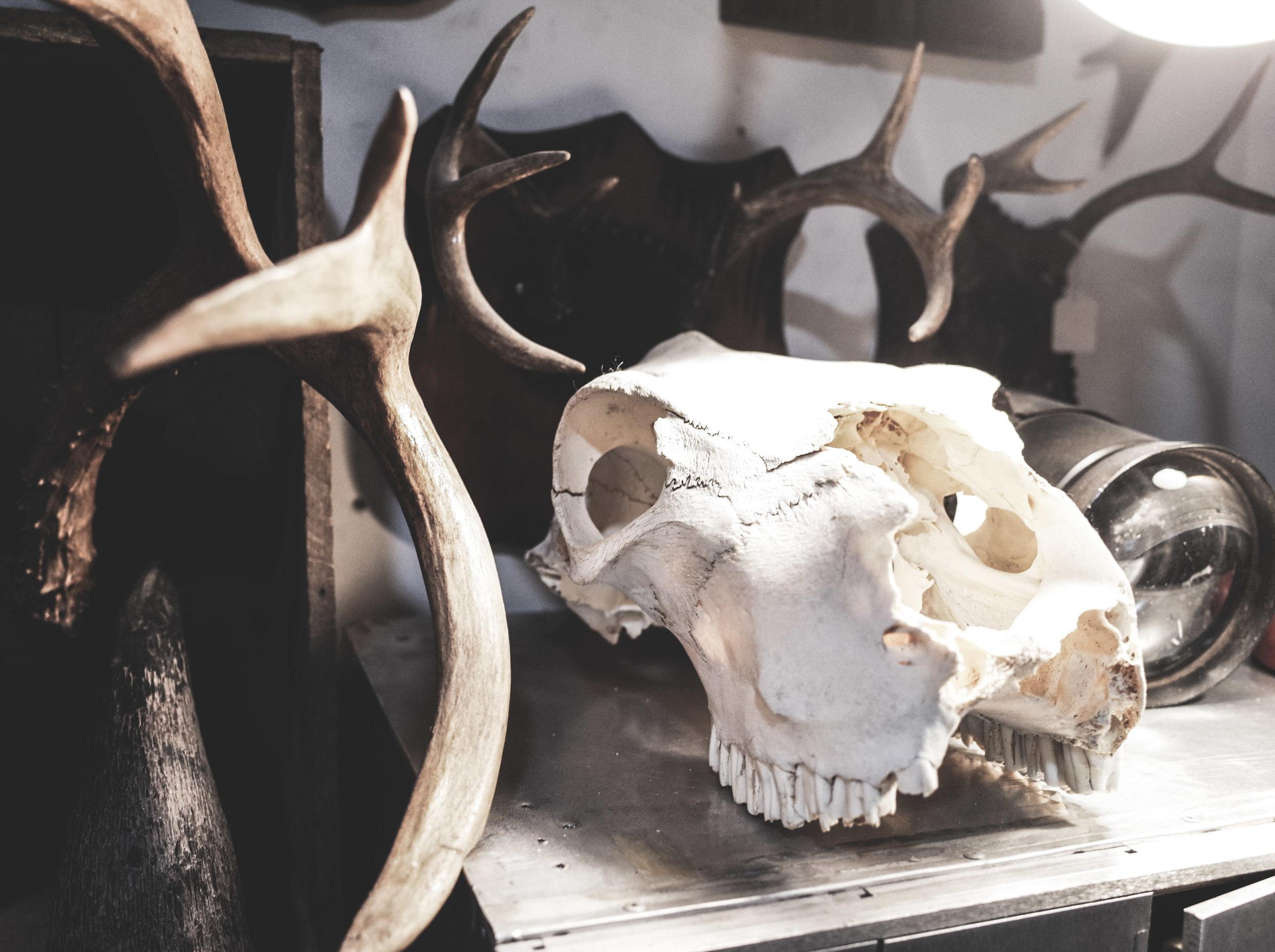 cow-skull.jpg