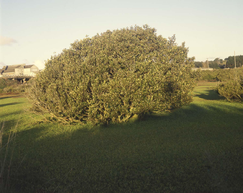 Mangrove afternoon. Westfield (1984)