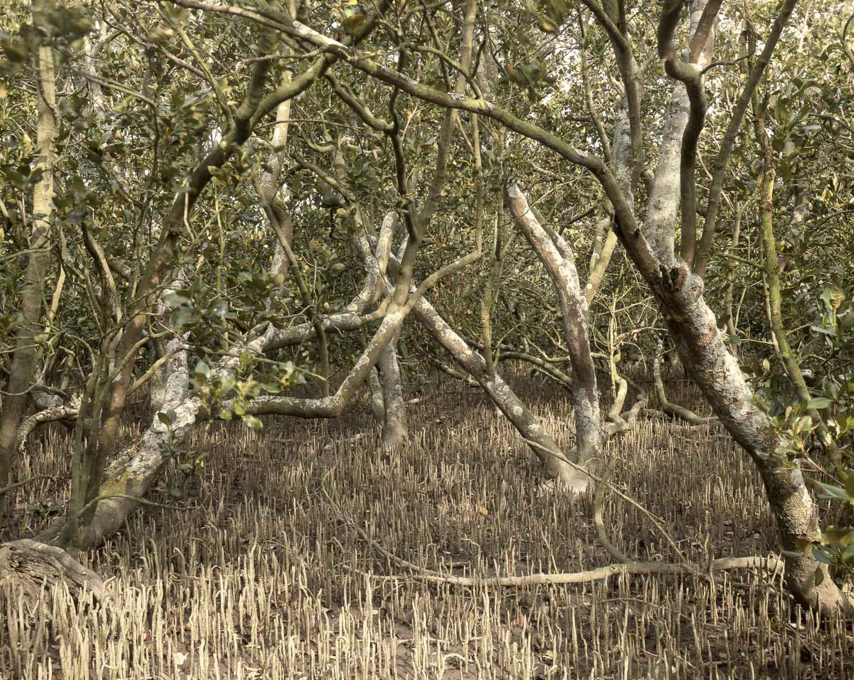 Mangrove forest. Westfield (1985)